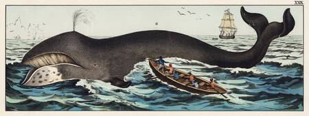 A lithograph of the bowhead whale from a German na