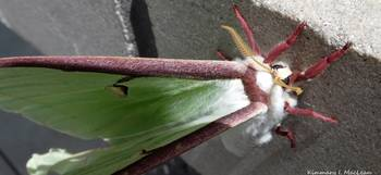 A Luna Moth Up Close
