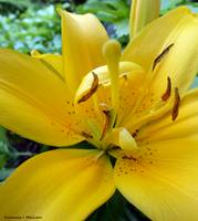 Ants on a Yellow Lily