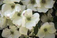 Pacific Dogwood Flowers