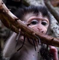 Baby macaque monkey biting a branch