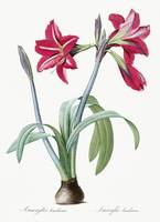 Brazilian amaryllis illustration from Les liliacée