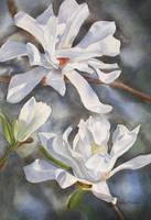 Star Magnolia Blossoms