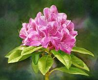 Magenta Colored Rhododendron Dark Background