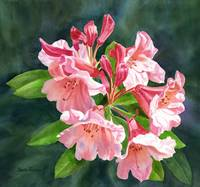 Peach Colored Rhododendron with Dark Background