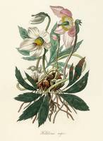 Christmas rose (Helleborus niger) illustration fro