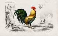 Cock illustrated by Charles Dessalines D' Orbigny
