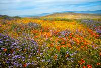 Wildflower Sea - Superbloom 2019