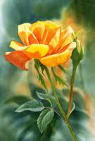 yellow orange rose with background