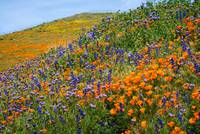 Amazing Colors Of The 2019 Wildflower Superbloom