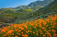 Epic Poppy Bloom In Walker Canyon