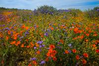 Explosion Of Color - Superbloom 2019