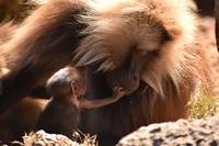 Mother Gelada (bleeding heart) baboon with baby