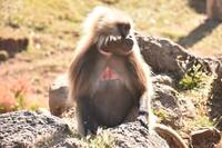 Gelada (bleeding heart) baboon in Simien mountains