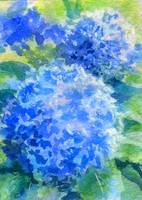Blue Hydrangeas Watercolor