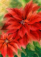 Warm Poinsettias Watercolor