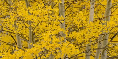 Lco001-18  Aspen Stand in Autumn III
