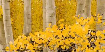 Lco001-19  Aspen Stand in Autumn IV