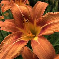 Daylily square