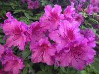 Vivid Pink Rhododendrons