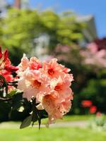 Rare Peach Rhododendrons