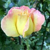 Yellow-Pink Rose square