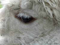Eye of the Alpaca