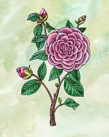 Botanical Watercolor Pink Camellia Flower