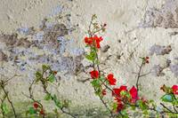 Red Flowers Over Damaged Wall