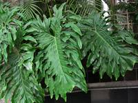 Philodendron Plant Far View