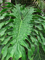 Philodendron Leaf Glowing Green