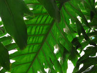Philodendron Leaves from Below