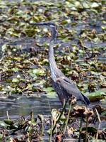 Great Blue Heron in the Water