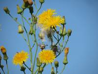 Yellow dandelions against a blue sky