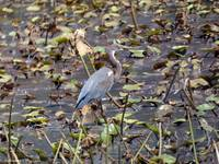 Juvenile Tricolored Heron in the Water