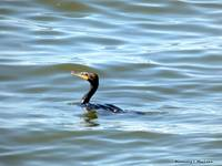 Cormorant Swimming in the Chesapeake Bay