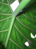 Philodendron Leaf Macro from Below