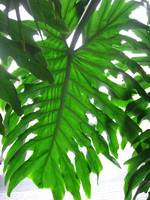 Philodendron Leaf from below