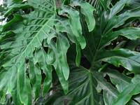 Philodendron Leaves from Above