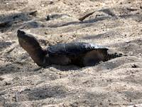 Snapping Turtle in the Sand