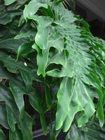 Philodendron Leaves Side View