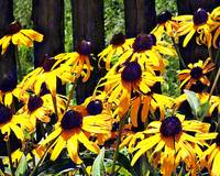 Black Eyed Susans by Fence