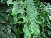 Philodendron Leaves Horizontal