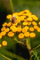 Tansy and bee