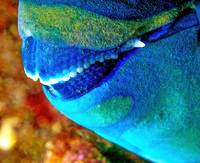 Mouth of Parrotfish Sleeping