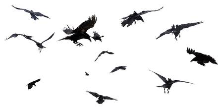 ravens on gray background_D