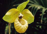 Beautiful Orchid Paph. malipoense