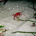 """Kelp Crab"" by BellaDomainDesign"