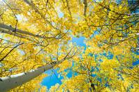 Golden Aspen Tree Forest Canopy