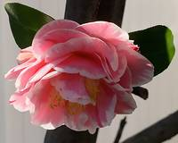 Pink And White Camellia Bloom
